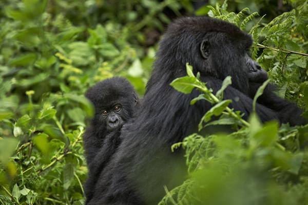 gorilla mothre